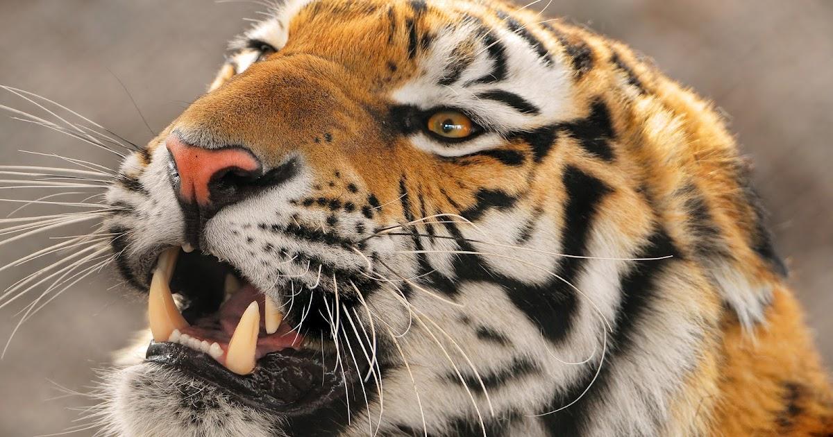 wallpapers4free: animals wallpapers hd desktop, tiger, widescreen ...