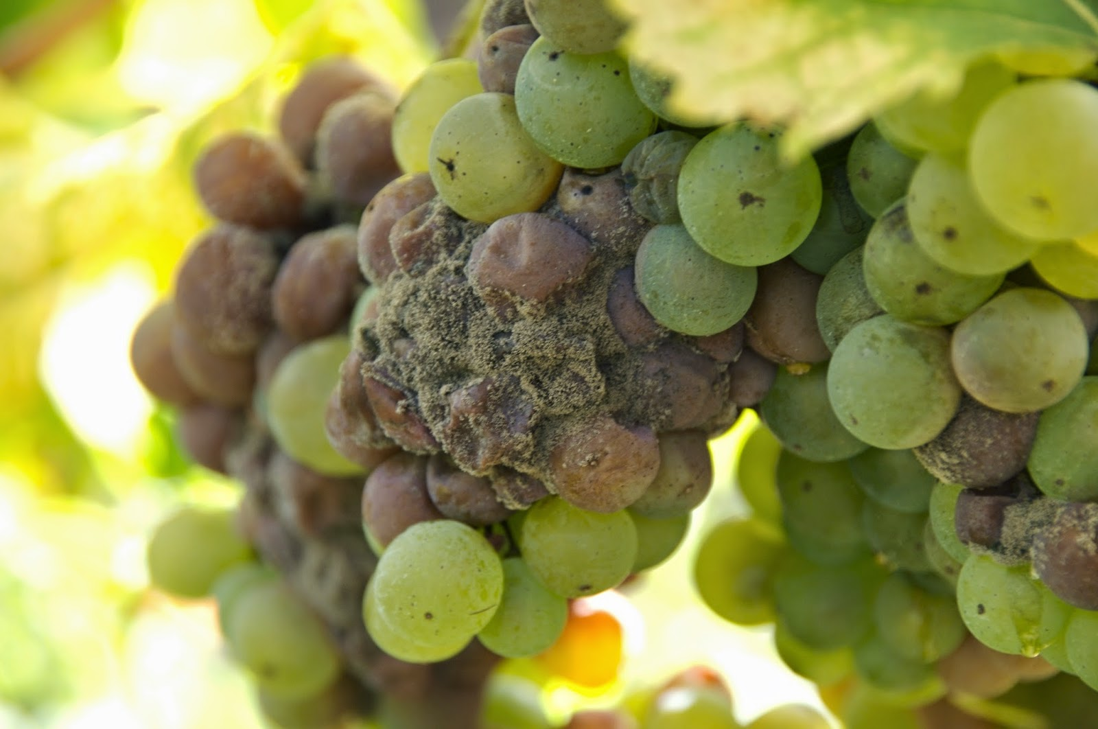 the effects of the manipulation of grape and must on a wine product Characterisation of commercial and natural torulaspora delbrueckii wine  effects of ethanol and  ecosystem in grape must and wine using.
