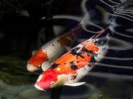 8 tips panduan memelihara ikan koi sebagai ikan hias air for Koi 1 utama