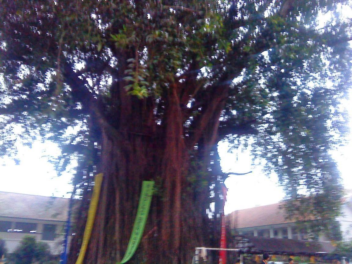 Pohon Karet Angker di SMA 2 Bandung
