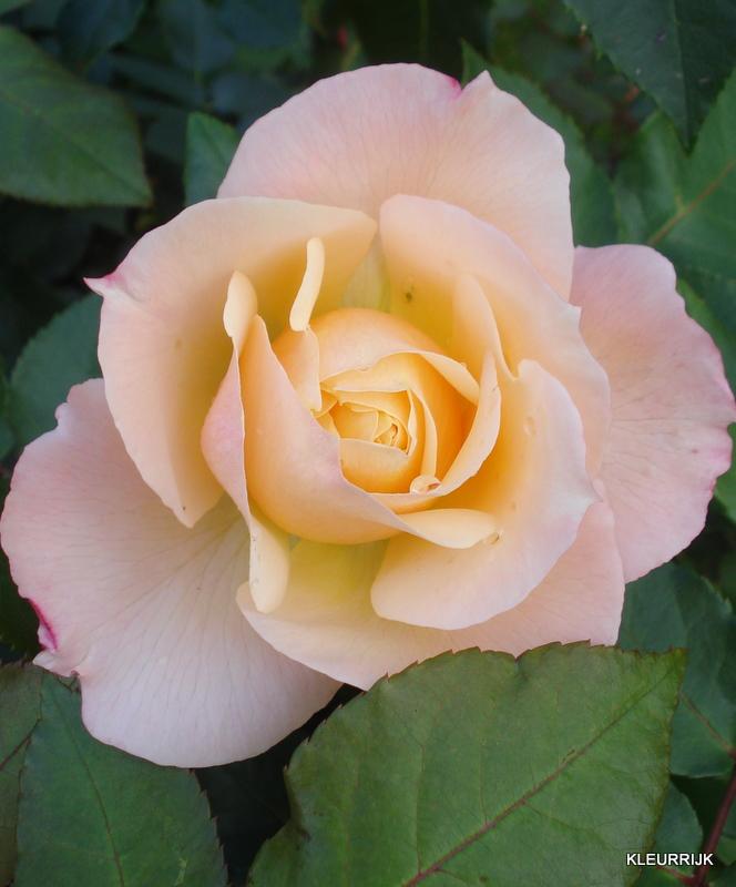 een roos is een roos is een roos in een tuin vlakbij ons. Black Bedroom Furniture Sets. Home Design Ideas