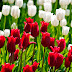 Skagit Valley Tulip Festival | Tulips Festival | All Colour Tulips