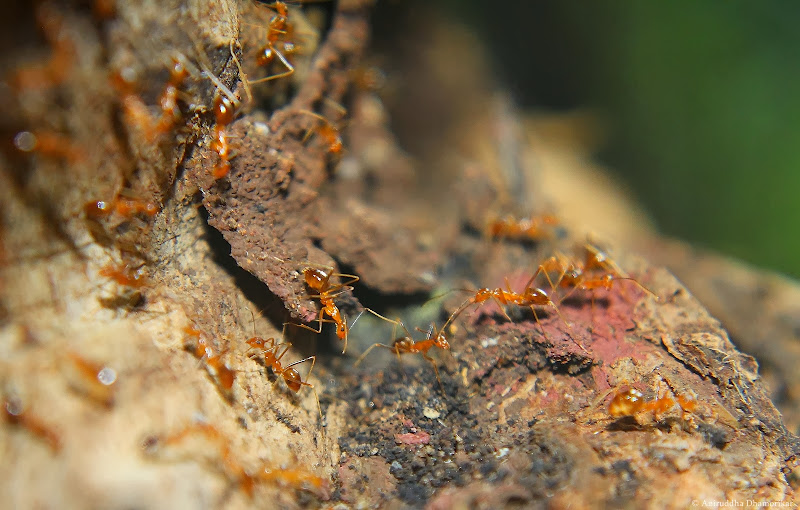 Story of the Yellow Crazy Ant