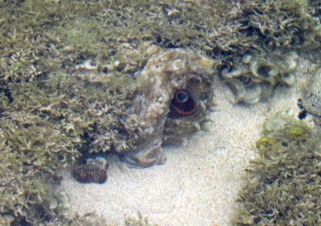 Octopus camouflage - Kauai, Hawaii | Shooting From The Hip