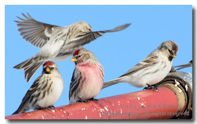 A Redpoll so bright, it looks like it was dipped in raspberry juice.  (At right, another immature copper-headed redpoll.) photo © Shelley Banks, all rights reserved.