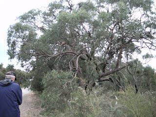 Eucalytus tree, Victoria Australia