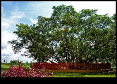 Pohon Cinta Di Pulau Kemaro, Palembang, Indonesia