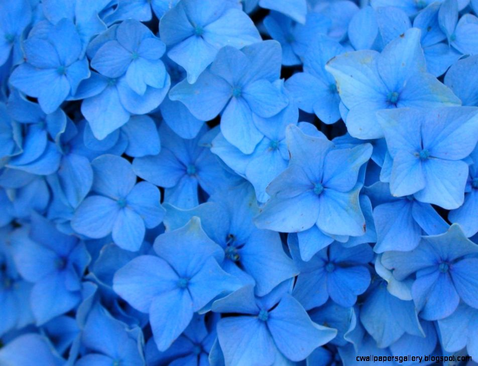 Wallpapers Collection «Blue Flowers Wallpapers»