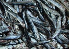 Fangfrische Sardellen