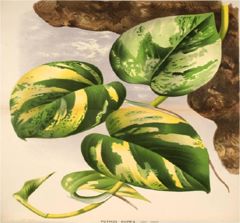 Plantas de interior populares epipremnun aureum ou - Estanteria para plantas de interior ...