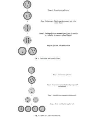 processus de mitose et de meiose