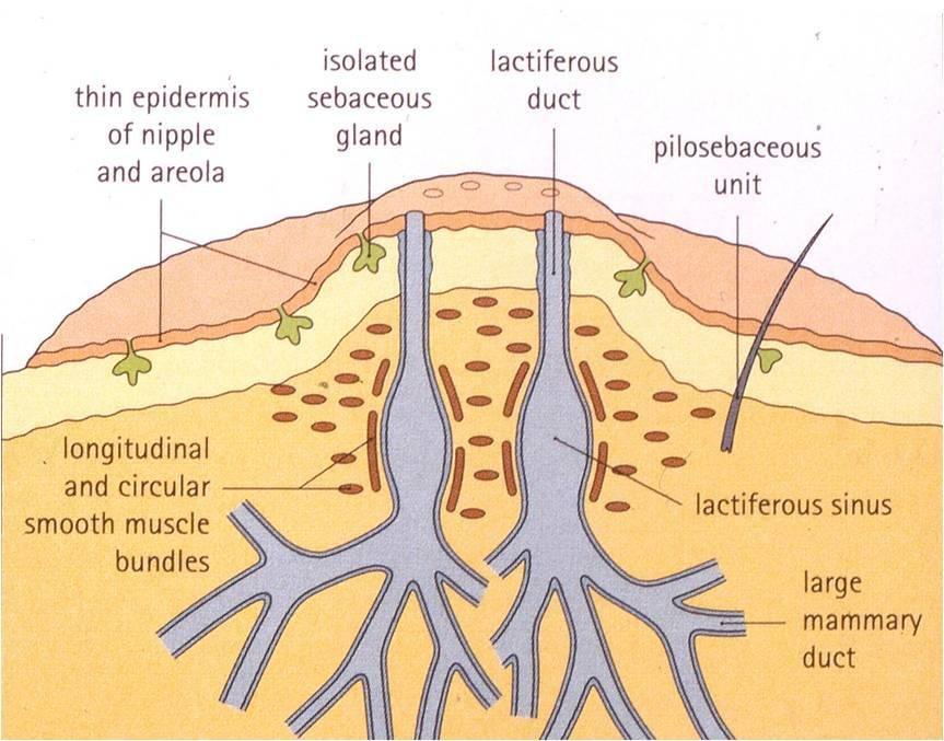 Anatomy of a nipple