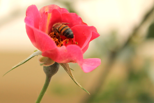 rosa e abelha - Pink and Bee