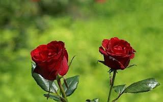 Fotos de Rosas Rojas, parte 2