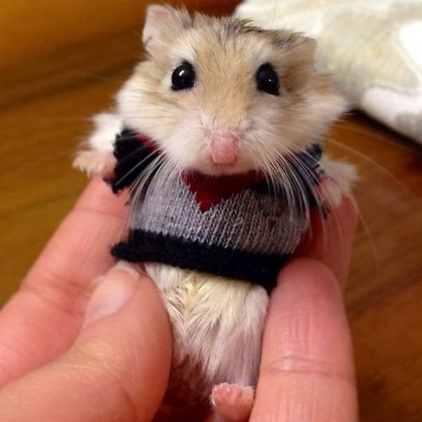 Funny animals of the week - 14 February 2014 (40 pics), hamster wears tiny sweater