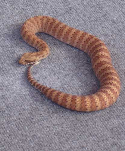 Snakes With Triangle Shaped Heads http://bigdog-allaboutsnakes.blogspot.com/2011/04/death-adder.html