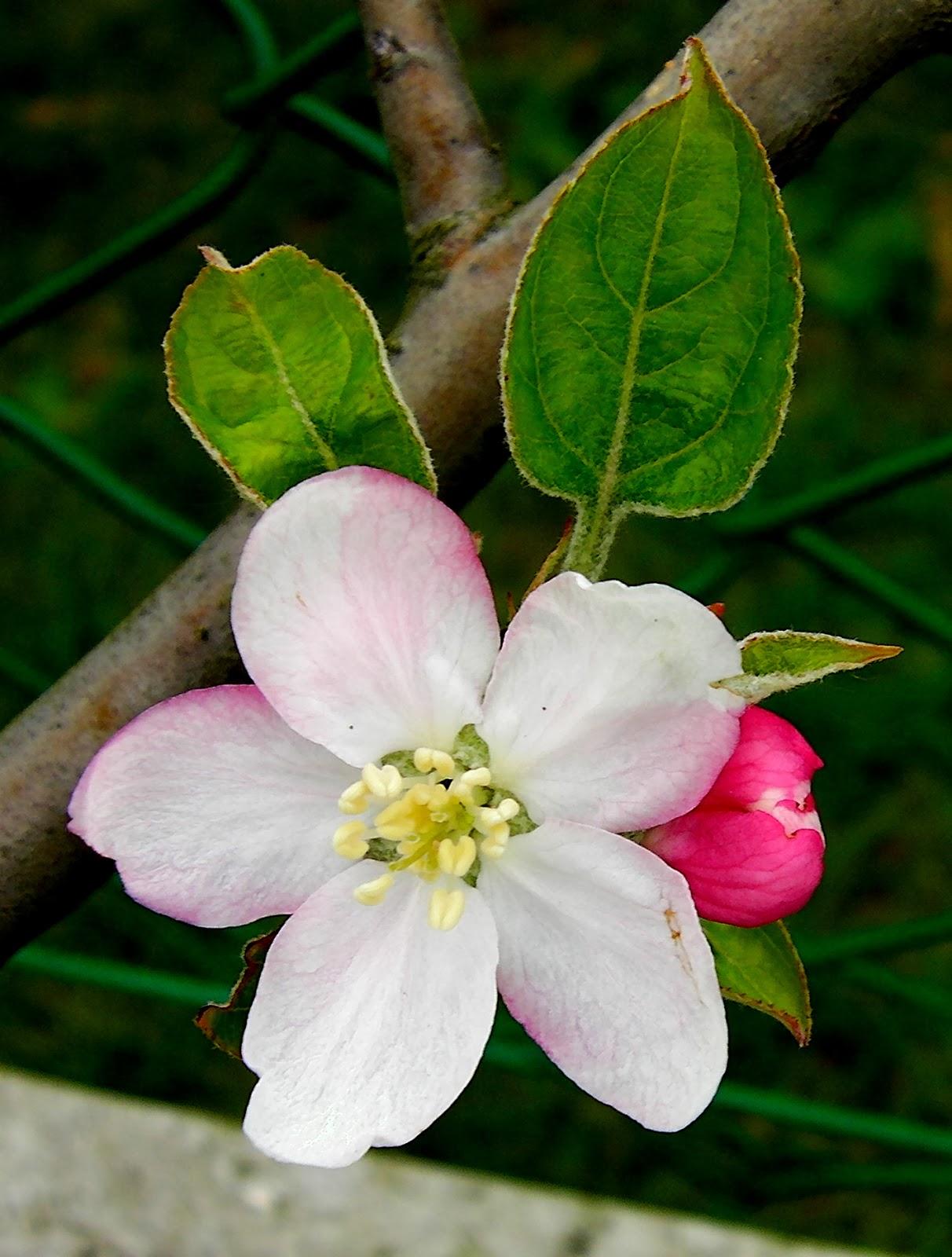 Les secrets de la taille et de la greffe des arbres fruitiers bio 03 petits secrets de la - Bouillie bordelaise sur arbres fruitiers en fleurs ...