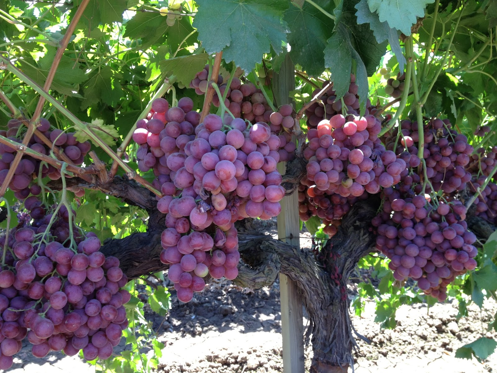 Fresh off the boat in hk the hidden world of table grapes for Table grapes