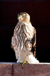 Juv Cooper's Hawk