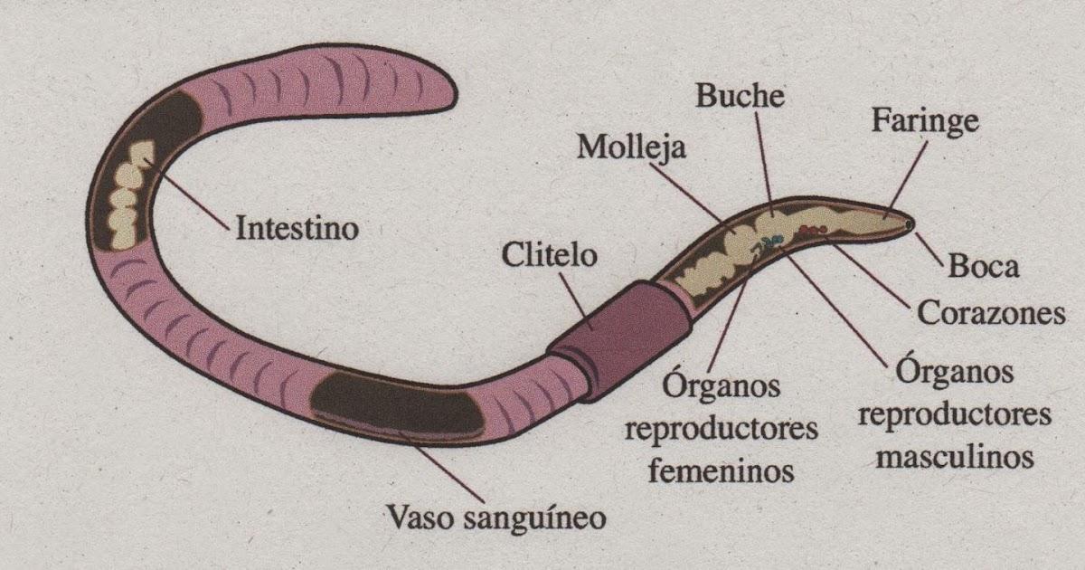 Dorable Diagrama De La Anatomía Lombriz De Tierra Patrón - Anatomía ...