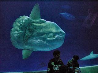 sunfish mola mola in aquarium