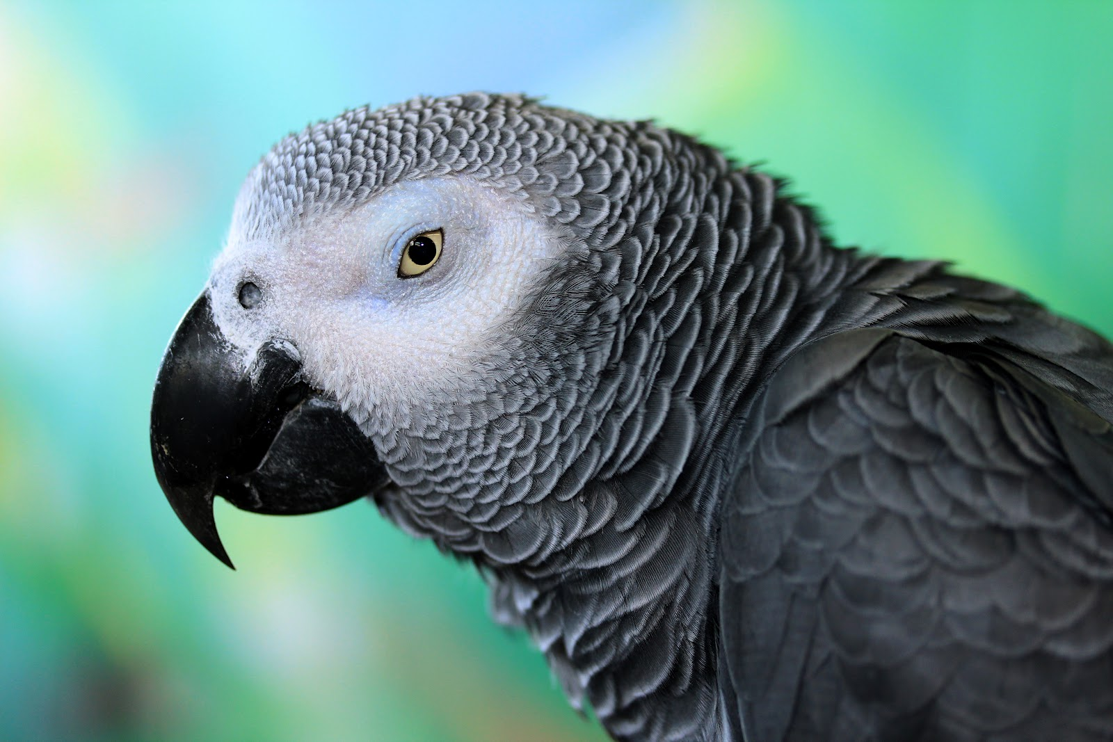 congo african grey The congo african grey is the largest of the african grey parrots, sporting a lighter gray color in its plumage, and a solid black beak.