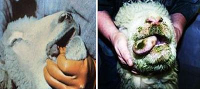 Hình 4: Triệu chứng bệnh trên miệng và lưỡi cừu