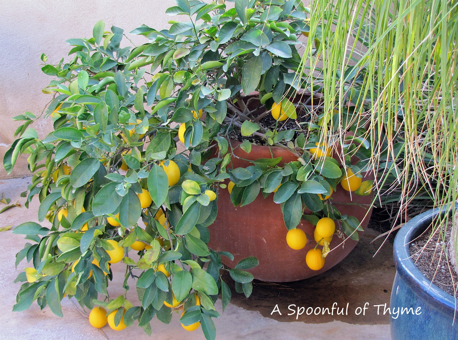 a spoonful of thyme backyard citrus
