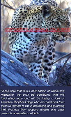 Leopards in the Hermanus mountains
