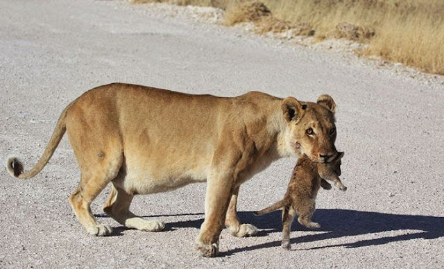 Lioness and her three cubs crossing the road at Etosha National Park Namibia, lioness and her cubs