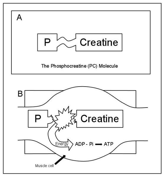 Pcr resynthesis following exercise