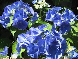 Favorite Hydrangea