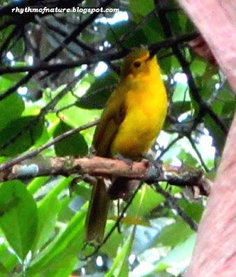 Yellow Browed Bulbul ( Scientific name : Acritillas indica )