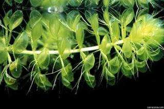 Tumbuhan Pemangsa Serangga