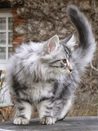 Norwegian Forest Cat Size,Weight and Life Expectancy