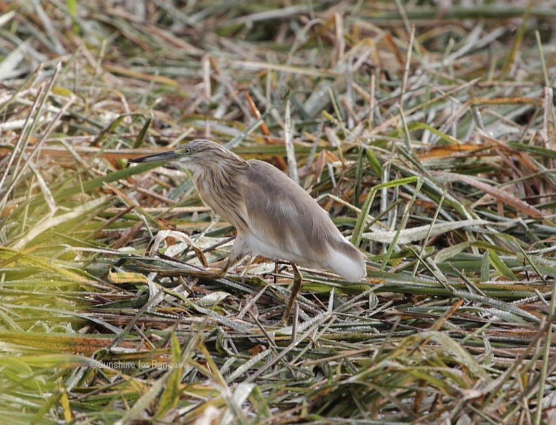 Squacco Heron in the Abuko rice fields