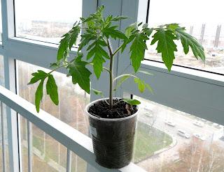 30 апреля, индетерминантная помидорка