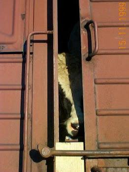 Gegen qualvolle Tiertransporte