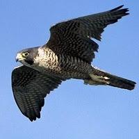 peregrine falcon, the fastest bird on Earth
