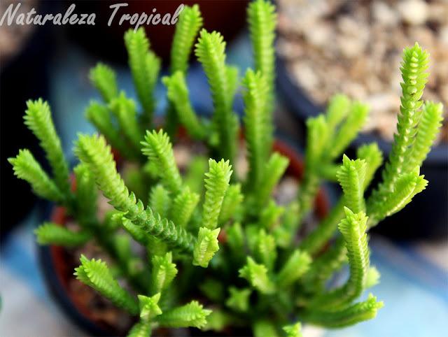La planta suculenta Cordón de San José, Crassula muscosa o Crassula lycopodioides