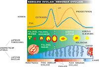 fase menstruasi wanita