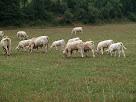 Pasturant al Pla de Sant Nazari