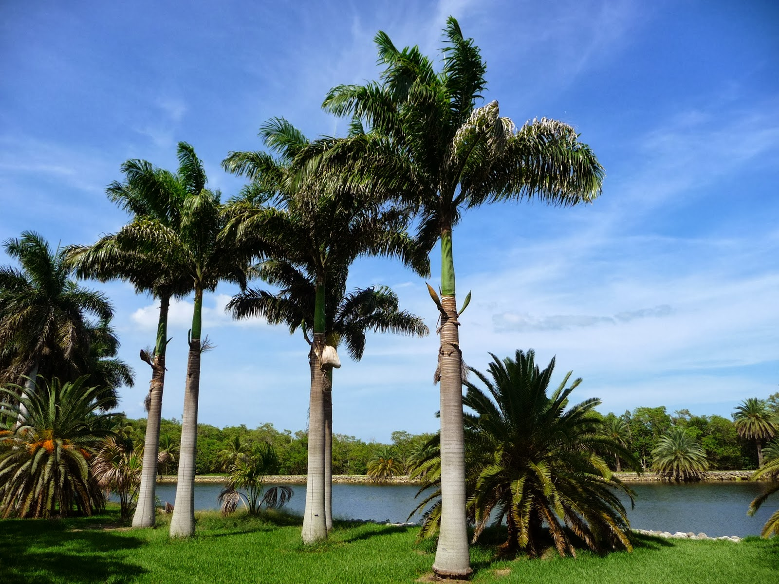 Palmeira imperial das antilhas roystonea sementes p - Type de palmier ...