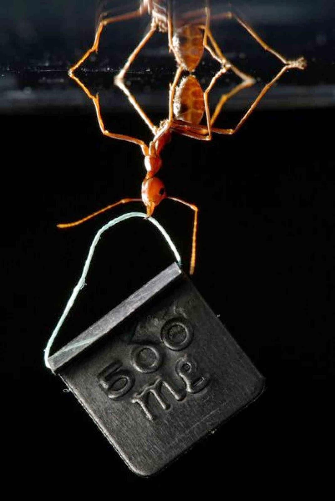 ¿Por qué son tan fuertes las Hormigas?Inteligencia Colectiva