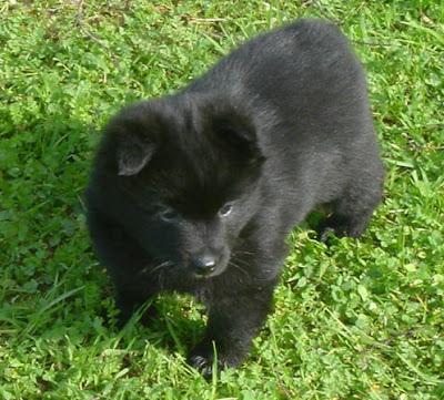 Schipperke Puppy Pictures