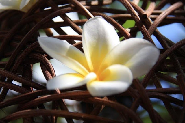 Flor frangipani en Bali Prime Villas, Kerobokan, Bali