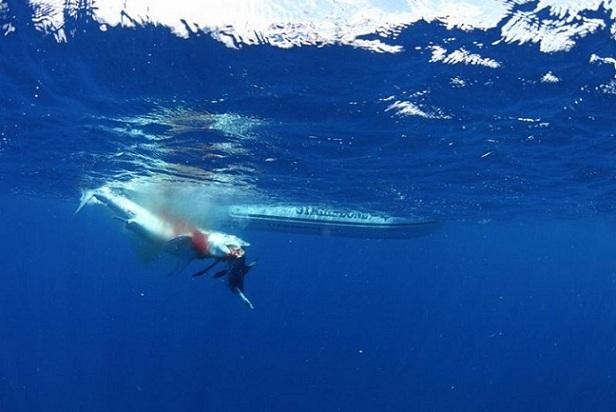 tiburon shark amazing depredador pesca