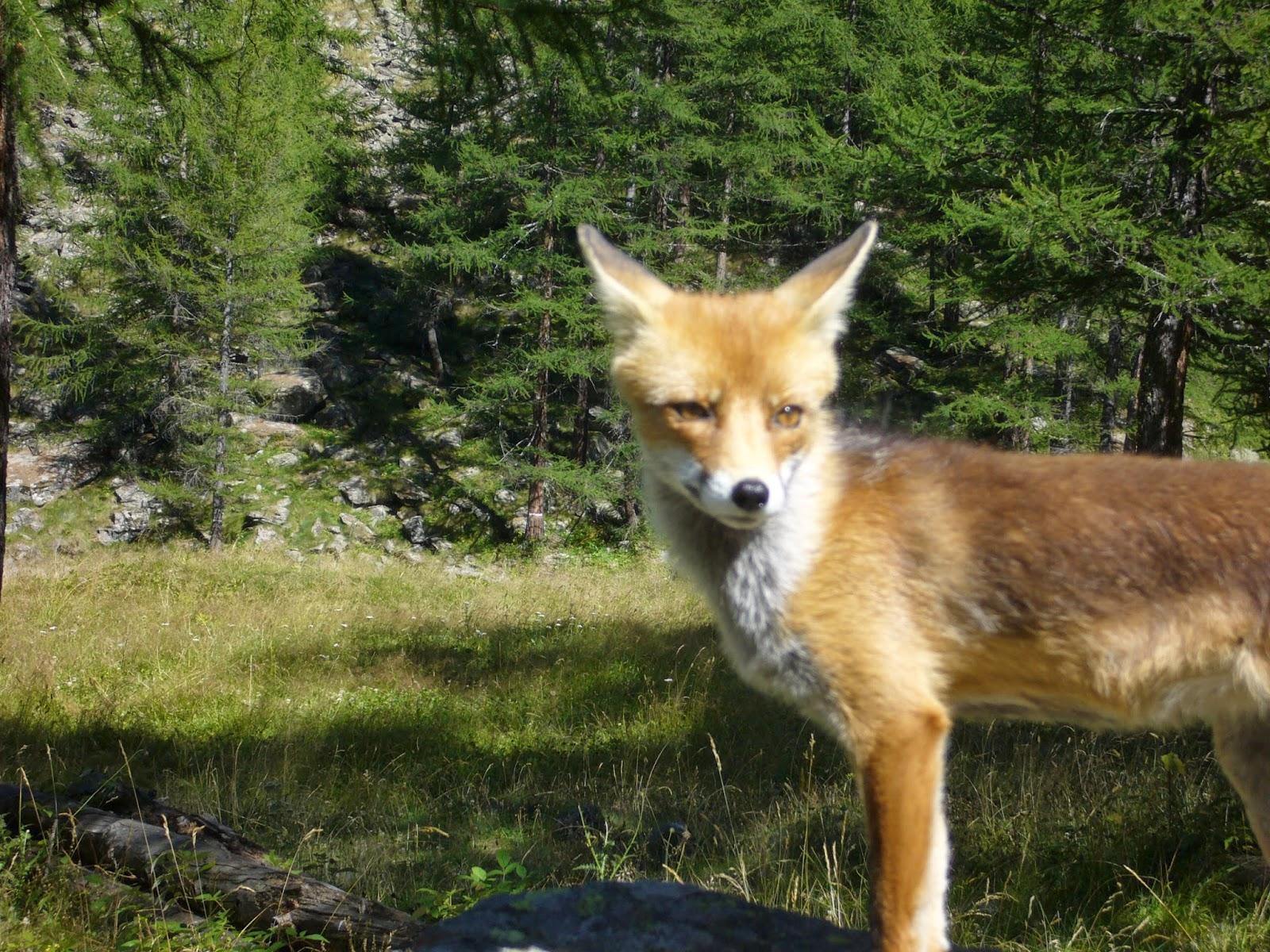 Quaderni di ecologia: la volpe