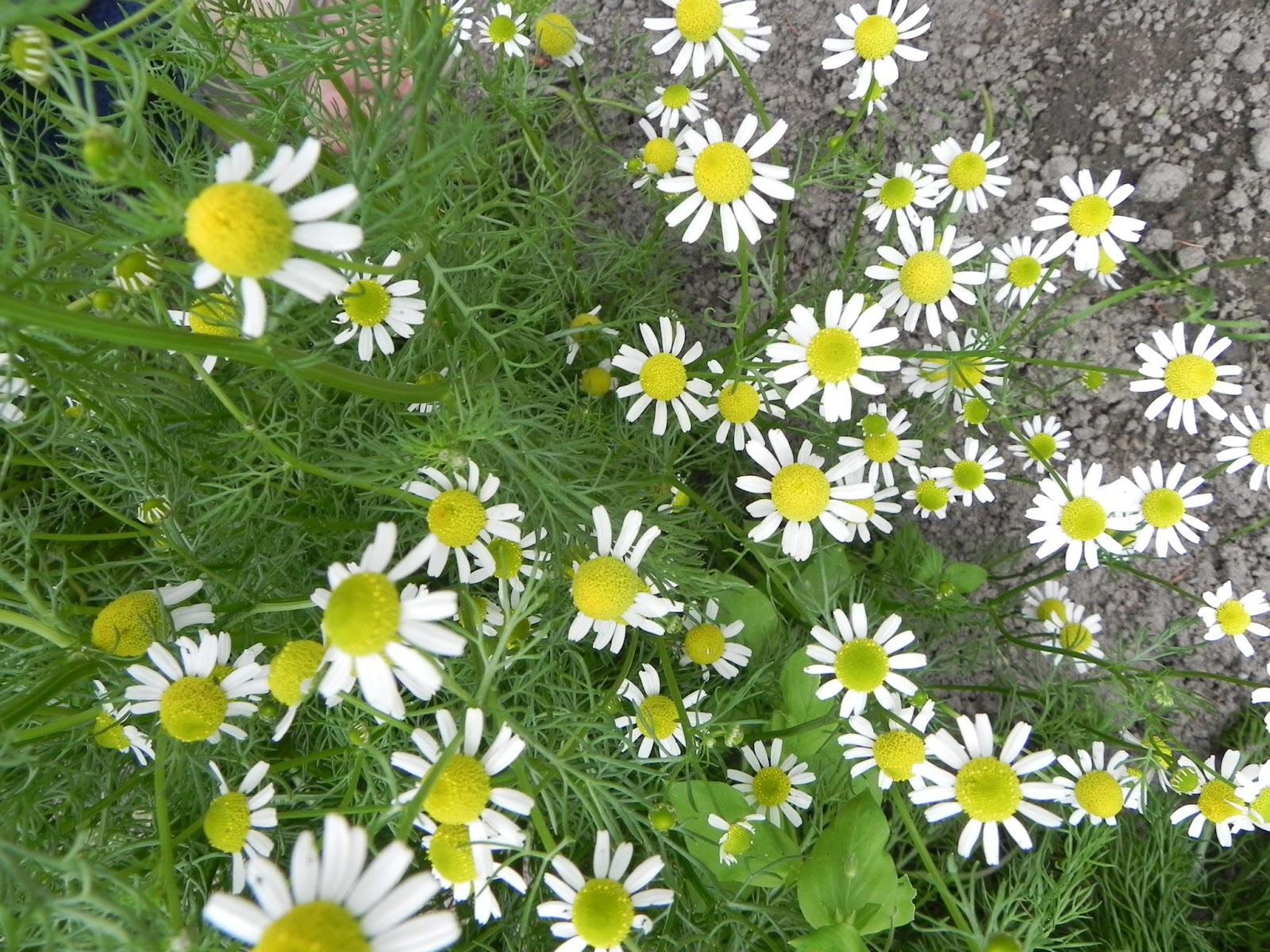 Bouquet fillers osborne seed company variety trials german chamomile has lots of old fashioned looking daisy blossoms and frilly finely cut leaves dont let it go to seed unless you want to have it forever izmirmasajfo
