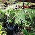 Pokok Paku Emas atau Penawar Jambi